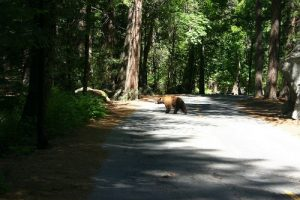 bear crossing road in state park